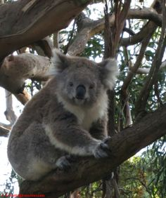 Koala Conservation Centre - check my latest post on Travellingfrenchies.com