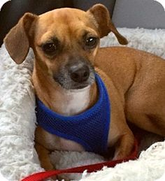 Ft Myers Beach, FL - Chihuahua/Beagle Mix. Meet Bouncy little Guy!!, a dog for adoption. http://www.adoptapet.com/pet/17585109-ft-myers-beach-florida-chihuahua-mix