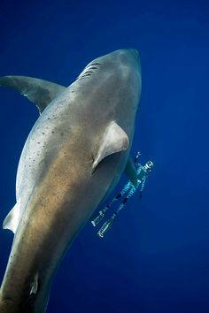 Ocean Ramsey and her team at One Ocean Diving have published incredible photos of the marine biologist swimming with a large great white shark off the coast of Hawaii in an effort to spot light shark conservation. Big Great White Shark, Largest Great White Shark, Big Shark, The Great White, Shark Swimming, Shark Conservation, Shark Pictures, Marine Biology, Whales