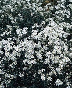 Pase Seeds - Cerastium Snow In Summer Beibersteinii Perennial Seeds, $2.69 (http://www.paseseeds.com/cerastium-snow-in-summer-beibersteinii-perennial-seeds/)