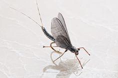 Woven Mayfly