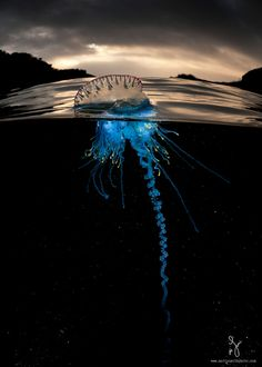 Caravela-Portuguese (Physalia physalis, Portuguese Man-of-War Jellyfish The Ocean, Ocean Life, Pacific Ocean, Underwater Photos, Underwater Photography, Photography Tips, Nature Photography, Animal Photography, Underwater Animals