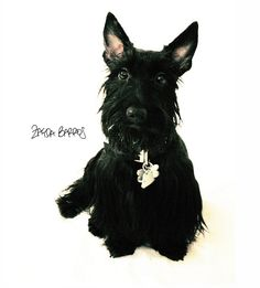 Photos of Scotties by Zayda Barros...meet Chelsea