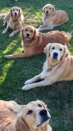 The Golden gang... THEY ALL HAVE THAT LOOK THAT GOLDENS HAVE!!! :)