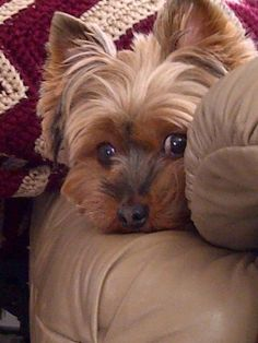 Yorkshire terriers are a small breed of 'toy pets' weighing a meager seven pounds as adults. Their size is because of their origins as designated vermin killers. Teacup Yorkie, Yorkie Puppy, Cute Puppies, Cute Dogs, Dogs And Puppies, Yorkies, Yorshire Terrier, York Terrier, Top Dog Breeds