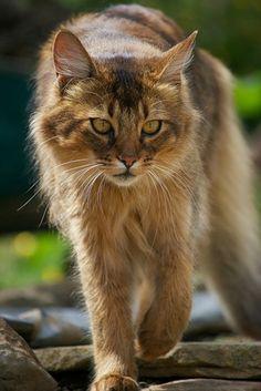 Foxtail (queen)