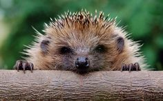 Happy Bonfire Night! If you're having a bonfire tonight please remember to check for these little guys in the pile before you set it alight. One may have wriggled inside looking for a comfy spot to hibernate #homesfornature