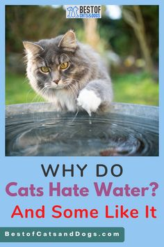 Cats Don't Like Getting Wet Because Of What Water Does To Their Fur. Wet Fur Is Also Heavier Than Dry And Thus Makes A Cat Less Nimble And Easier For Predators To Catch. There Is Also The... Read More Here! #CatHealh #CatSafetyTips #CatSafety #CatCare # CatSwim #Cats