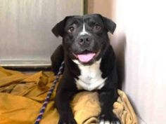 💔KILLED 02/11/17💔 Sandy • Pit Bull Terrier Mix • 3 years old • Intake Date 02/07/2017 • NYC AC&C -Manhattan Center • Found as a stray. #A1103149