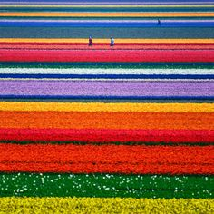 One day ..... Tulip Field, North Holland, The Netherlands