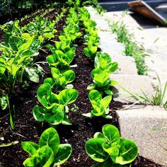 STAGGERED PLANTING!. This grow bed grows 400 Little Gem lettuces at a time.  This variety takes 4 weeks from transplant so we harvest a 100 a week and replant 100 per week for non stop lettuce!  Follow me and tag your friends for amazing urban gardening t