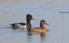 ring necked duck aythya collaris - Google Search