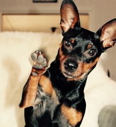 Who wants to play..? | Miniature Pinscher