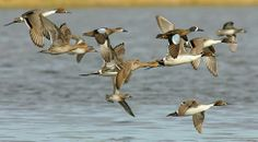 Blue Winged Teal with Northern Pintail Blue Winged Teal, Outdoor Life, Ducks, Hunting, Feather, Wings, Survival, Houses, Fur