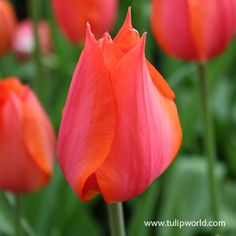 Top quality Temple of Beauty Single Late Tulip covered by our Grow Guarantee! Spring Plants, Spring Bulbs, Sea Holly, Tulip Bulbs, Asiatic Lilies, Diy Projects For Beginners, Planting Bulbs, Organic Matter