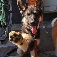 High-five if you love German shepherd dogs!