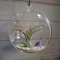 Air Plant Terrarium  These plants survive and thrive simply on what they catch out of the air, from ambient moisture to particles of dust and other nutrients floating around them.