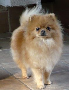 I dont usually like the tan poms but this one just looks like a princess/prince!!! This tan pom is adorable!!