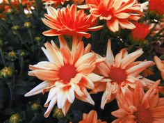 I love daisys and these guys are no exception. The orange color makes them really pop! Other sizes are available, just ask!    Printed on Kodak