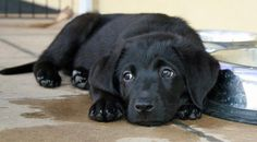 I can't wait to get a black lab puppy
