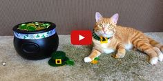 How Cats Celebrate St. Patrick's Day! Cole and Marmalade are enjoying St Patrick's day in style!