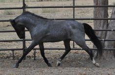 ASPC (American Shetland Pony Club) 1998 blue roam stallion, Hopwoods Silver Rain, www.encoressecret.com. pics taken 5 mo's later, 08/2011.