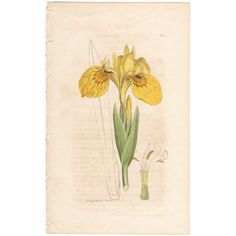 Sowerby antique 1799 hand-colored engraving, botany, Pl 578 Yellow Water-Iris