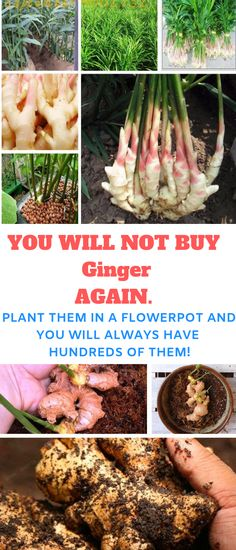 The best ginger to plant is purchased from a garden center or seed catalog. You'll have much better luck if you get seed ginger that was meant to be planted. However, ginger can be hard to find… Growing Ginger, Organic Gardening Tips, Urban Gardening, Gardening Hacks, Organic Horticulture, Home Vegetable Garden, Fruit Garden, Edible Garden, Garden Pests