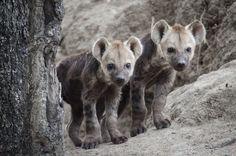 hyena-cubs-kp