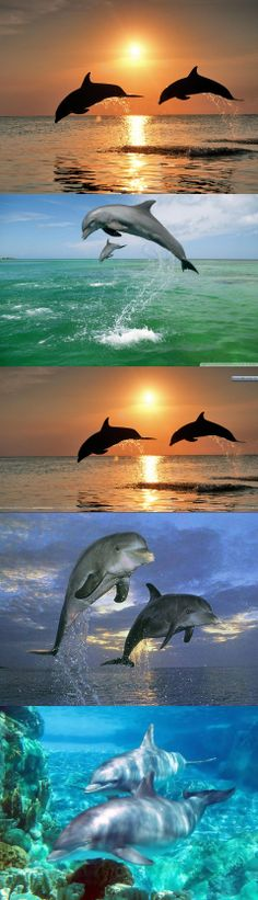 Bottlenose Dolphins Jumping at Sunset, H...