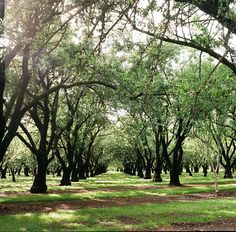 Orchards, Chico