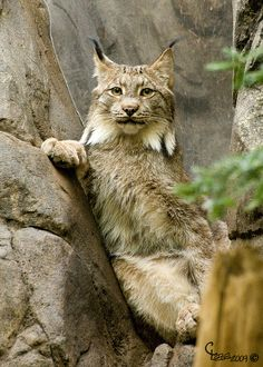Lynx (A cat with Attitude) by Christian Lebel, via Flickr