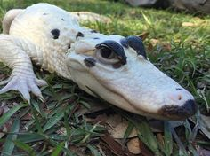 Meet the World's First Piebald Alligator and Extremely Rare Leucistic Alligator