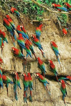 Scarlett macaws at a mineral lick