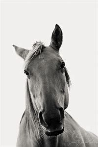 Horse Black and White Portrait Photography