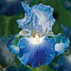 Iris Bulbs Perennial 2 Cold Resistant Perennial Rare Easy To Grow Potted Plant - Ideas of Bulbs Plants Flower Garden Plans, Iris Garden, Lawn And Garden, Flowers Garden, Summer Flower Arrangements, Beautiful Flower Arrangements, Beautiful Flowers, Cut Flowers, Flowers In Hair