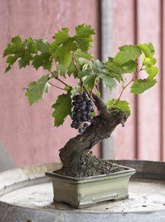 Wine Grape Bonsai