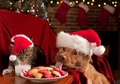 http://data.whicdn.com/images/43262049/Christmas-pets-1_large.jpg