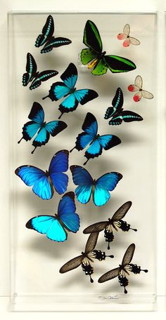 12 x 24 Real Exotic Butterfly Display by stevenalbaranes on Etsy