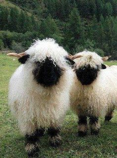 Valais black nose sheep, looking for a farm stay just to be around these guys