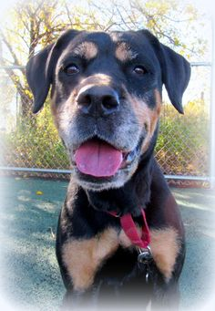 Rilee (Beautiful Rottie with Lovely Manners) is an adoptable Rottweiler searching for a forever family near Jersey City, NJ. Use Petfinder to find adoptable pets in your area.
