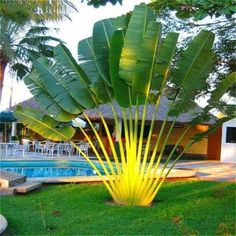 Cheap cycas seeds, Buy Quality tree seeds directly from China palm seeds Suppliers: Perennial Plant Palm Seeds Tropical Cycas Seed * Garden Rare Tree Seeds 2016 Rare Canna Palm Plants Flower Sementes Tropical Backyard Landscaping, Palm Trees Landscaping, Tropical Garden Design, Landscaping With Rocks, Tropical Plants, Exotic Plants, Tropical Gardens, Garden Trees, Garden Pots
