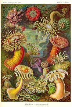 sea anemones - color plate by Ernst Haeckel #illustration