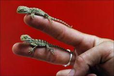 Baby Bearded Dragons