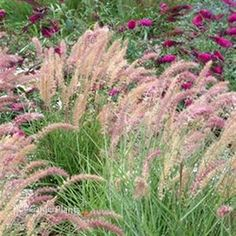 Bunny Tails Ornamental Grass How to grow bunny tails from ornamental grass seed it is karley rose pennisetum karley rose pp grass ornamental workwithnaturefo