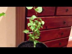 ▶ How to grow peach, plum and nectarine from cuttings and seed (Part 3) . - YouTube