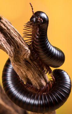 Image result for flaming leg millipede