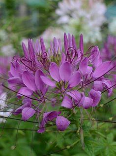 ดอกผักเสี้ยนฝรั่ง