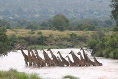 """Giraffes crossing the Mara River, Kenya""  Photograph by Annete Bulman"