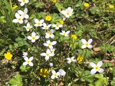 Bluets wildflowers